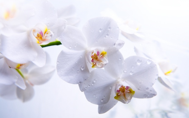 white-orchid-wallpaper-3.jpg